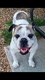 English Bulldog Mix Dog for adoption in Concord, California - Rose