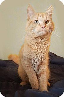Domestic Longhair Cat for adoption in Mankato, Minnesota - Lonnie