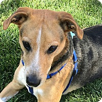 Adopt A Pet :: Joey - Nashville, TN