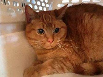 Domestic Mediumhair Cat for adoption in Edmonton, Alberta - Becca Boo