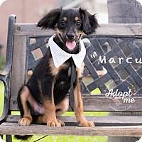 Adopt A Pet :: MARCUS - Inland Empire, CA
