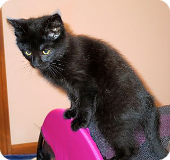Domestic Shorthair Kitten for adoption in Fort Wayne, Indiana - Puma