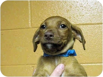 Dachshund Mix Puppy for adoption in Mahwah, New Jersey - Paul