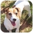 Photo 1 - Jack Russell Terrier Dog for adoption in Phoenix, Arizona - SOPHIE