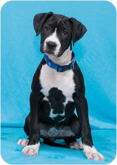 Boxer/American Staffordshire Terrier Mix Puppy for adoption in Westminster, Colorado - AUGUSTA