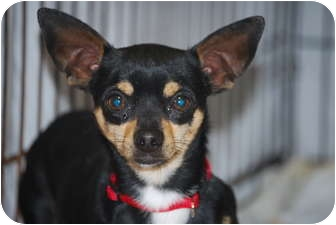 Chihuahua Mix Dog for adoption in Cranford, New Jersey - Charlie