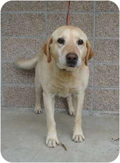 Labrador Retriever Mix Dog for adoption in Spruce Pine, North Carolina - Grizz