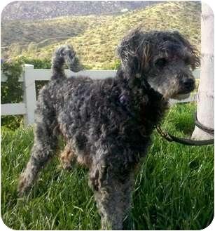 Schnauzer (Miniature)/Poodle (Miniature) Mix Dog for adoption in El Cajon, California - Bob