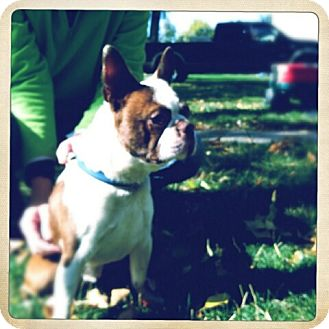 Boston Terrier Dog for adoption in Ft. Collins, Colorado - Dexter