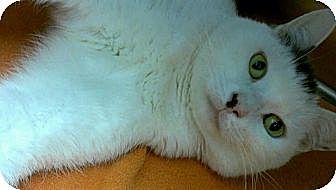 Domestic Shorthair Cat for adoption in Richboro, Pennsylvania - Pesto