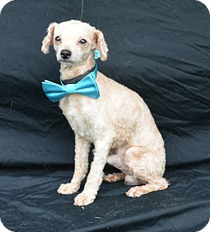 Poodle (Miniature) Dog for adoption in Plano, Texas - Apricot