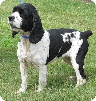 Cocker Spaniel Dog for adoption in Newberry, South Carolina - Millie
