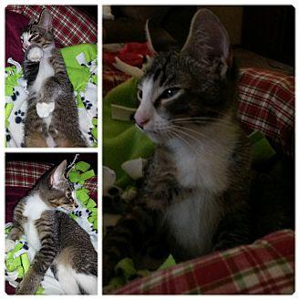 Domestic Shorthair Kitten for adoption in China, Michigan - Naomi