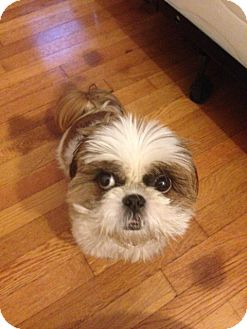 Shih Tzu Dog for adoption in Jersey City, New Jersey - Courtesy Posting: Chonsoon