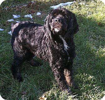 Cocker Spaniel Mix Dog for adoption in Port Hope, Ontario - Sky