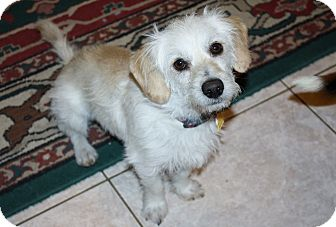 Dachshund/Terrier (Unknown Type, Small) Mix Dog for adoption in Bellflower, California - Giovanni