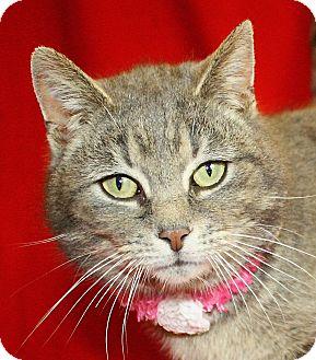 Domestic Shorthair Cat for adoption in Jackson, Michigan - Chapin