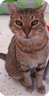 Domestic Shorthair Cat for adoption in Hillside, Illinois - Lester