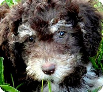 Goldendoodle Puppy for adoption in Wakefield, Rhode Island - COCO(OUR GOLDENDOODLE PUPPY!