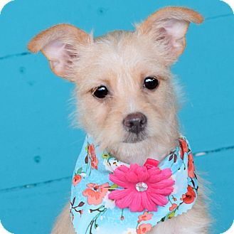 Terrier (Unknown Type, Small)/Chihuahua Mix Puppy for adoption in Denver, Colorado - Mae Mae