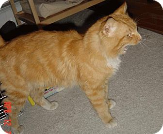 Domestic Mediumhair Cat for adoption in Wakefield, Massachusetts - Cosmo