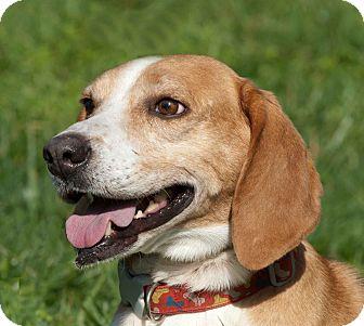 Foxhound/Hound (Unknown Type) Mix Dog for adoption in Limekiln, Pennsylvania - ELVIS PRESLEY