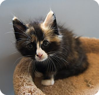 Calico Kitten for adoption in Charlotte, North Carolina - A..  Angel