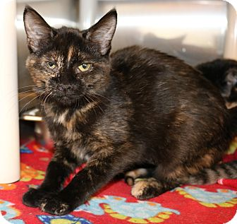 Domestic Shorthair Kitten for adoption in Council Bluffs, Iowa - Greta