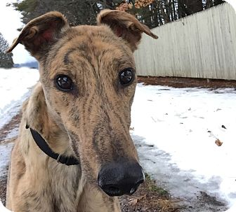 Greyhound Dog for adoption in Swanzey, New Hampshire - Tahoe