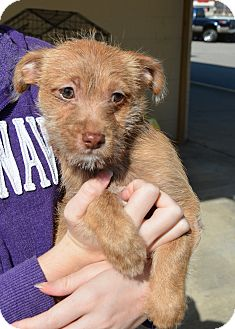 Chihuahua/Poodle (Standard) Mix Puppy for adoption in Hopkinsville, Kentucky - Bourbon