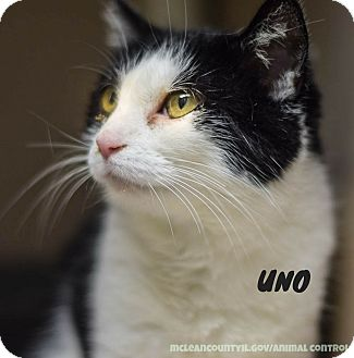 Domestic Shorthair Cat for adoption in Hanna City, Illinois - Uno-adoption pending