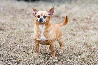 Pug/Chihuahua Mix Dog for adoption in Virginia Beach, Virginia - Max