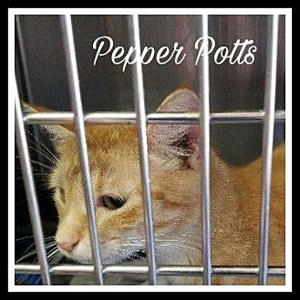 Domestic Shorthair Cat for adoption in Gautier, Mississippi - Pepper Potts