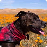 Adopt A Pet :: Vicky - Los Angeles, CA