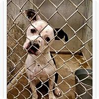 Adopt A Pet :: Jasmine - Urgent! - Zanesville, OH
