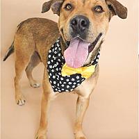 Adopt A Pet :: Snoopy - San Ramon, CA