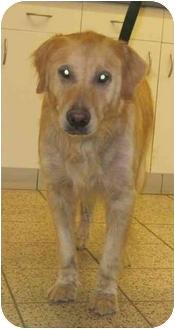 Golden Retriever Dog for adoption in Cleveland, Ohio - Rufus