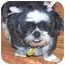 Photo 1 - Shih Tzu Dog for adoption in Inman, South Carolina - Chelsea