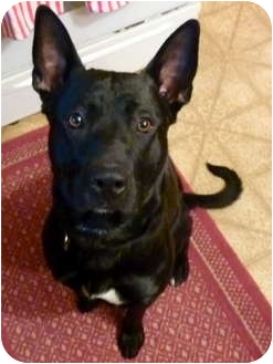German Shepherd Dog/Labrador Retriever Mix Dog for adoption in Sterling Heights, Michigan - Zeus
