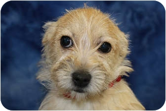 Terrier (Unknown Type, Small) Mix Puppy for adoption in Broomfield, Colorado - Alison Krauss