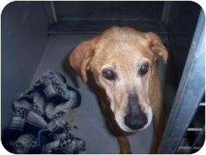 Labrador Retriever Mix Dog for adoption in Olathe, Kansas - Big Red