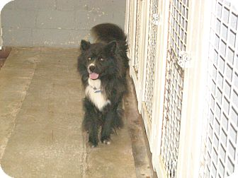 Chow Chow/Border Collie Mix Dog for adoption in Windsor, Missouri - Samson