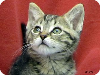 Domestic Shorthair Kitten for adoption in Republic, Washington - Ruby