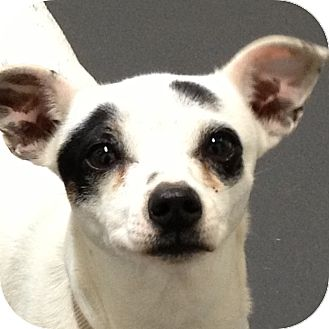 Chihuahua Mix Dog for adoption in Ithaca, New York - Kamilah