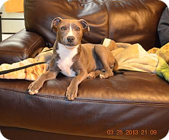 American Pit Bull Terrier Dog for adoption in Killen, Alabama - Abby