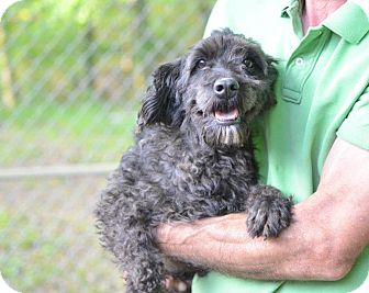 Poodle (Miniature)/Schnauzer (Miniature) Mix Dog for adoption in Sparta, New Jersey - Sugar