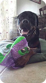 Rottweiler Dog for adoption in Caledon, Ontario - Enzo