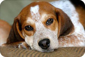 Beagle Puppy for adoption in Naugatuck, Connecticut - Deacon