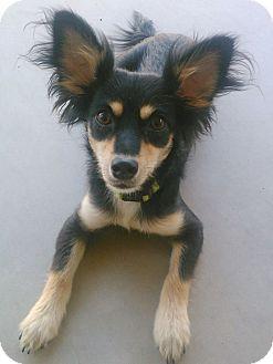 Papillon Mix Dog for adoption in Chandler, Arizona - Fiona
