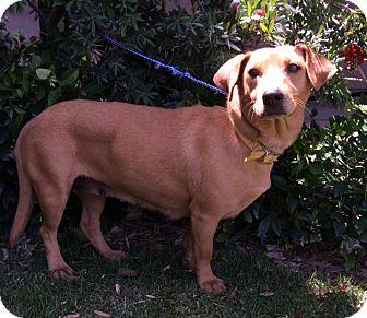 Dachshund/Beagle Mix Dog for adoption in Irvine, California - MILLIE
